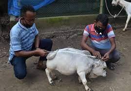 गाय नहीं खिलौना लगती है बौनी गाय रानी,हजारों लोग पहुंच रहे है देखने