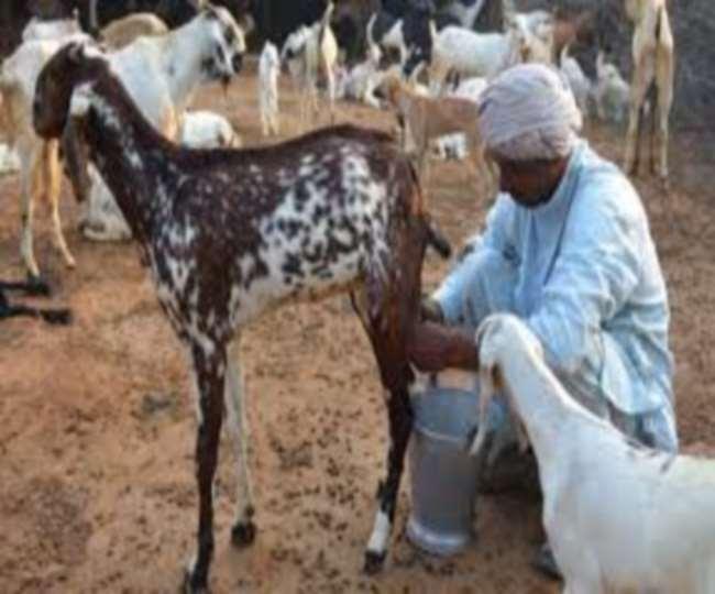 बकरी का दूध पीने से बढ़ती हैं प्लेटलेट्स!क्या है सच?
